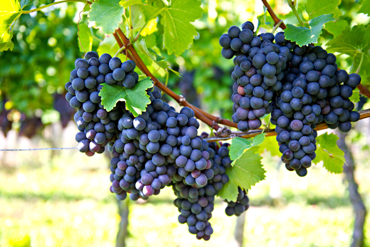 1Сорт-винограда-Рэд-Манука.jpg